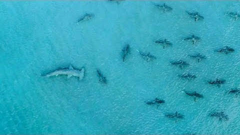 Giant Hammerhead Sharks Hunting Blacktip Sharks