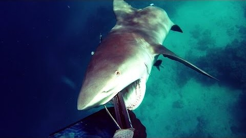 Bullshark Attacks Spearfisherman